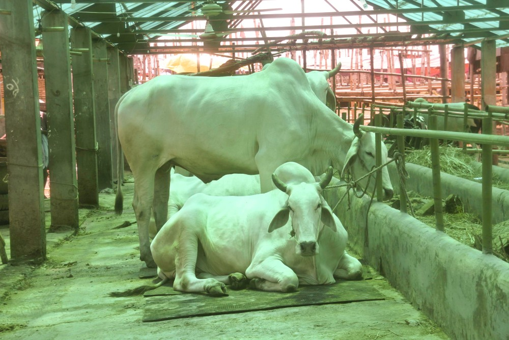 Anthrax outbreak causes cattle sales to plummet during Eid (6/6)