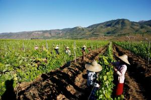 Workers picking the grapes of Red Mountain Estate. Photo supplied by Red Mountain