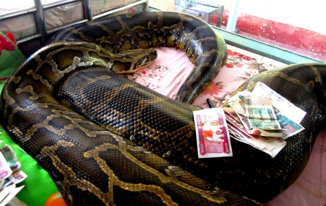 Is this the world's largest snake?