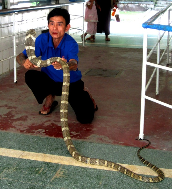 Sein Thein with the King Cobra he caught in August.