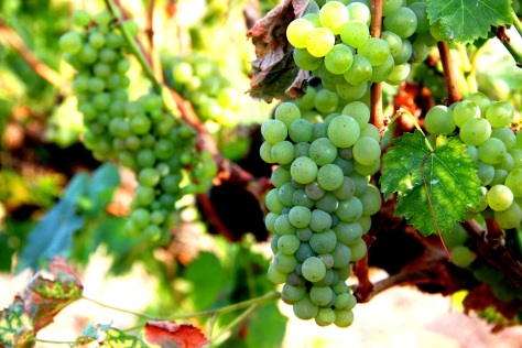 Red Mountain grapes