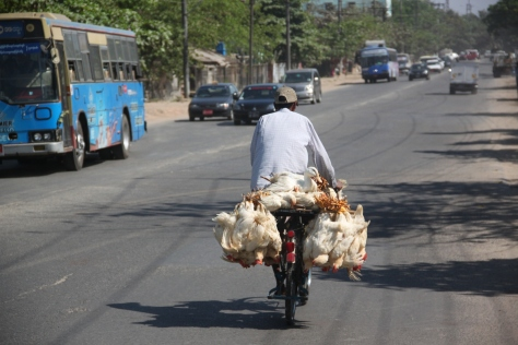 A common method of transporting poultry