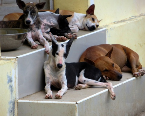 Yangon street dogs. Photo credit: Terryl Just