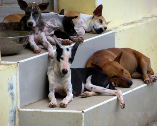Yangon street dogs. Photo credit: Terryl Just