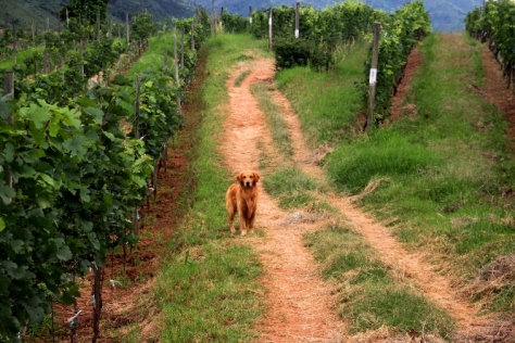 Lucky the retriever in the vineyard