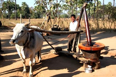 A sesame-grinding oxen