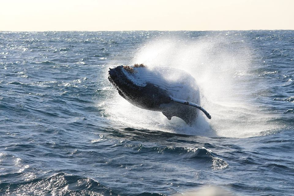 What an epic breach! Photo supplied by Go Whale Watching.