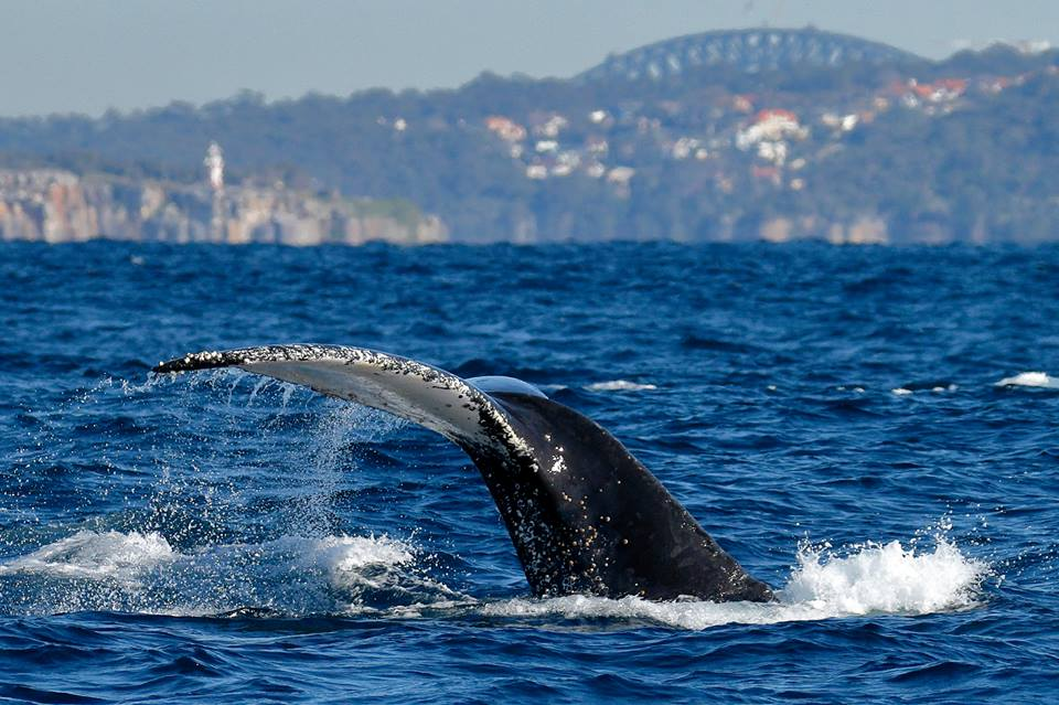 With Sydney Harbour Bridge in the background. Photo supplied by Go Whale Watching.